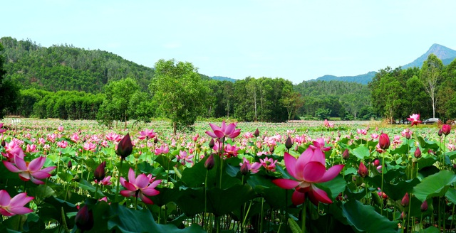 Mãn nhãn với thung lũng sen hồng tuyệt đẹp giữa lòng xứ Quảng - 1