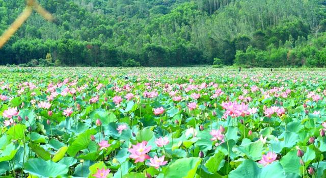 Mãn nhãn với thung lũng sen hồng tuyệt đẹp giữa lòng xứ Quảng - 5