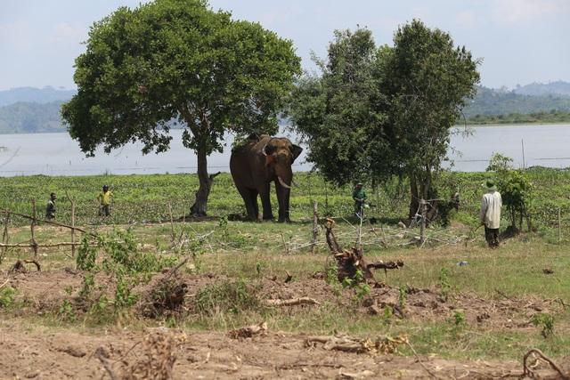 Vụ voi quật chết người: Cả chục nài voi tìm cách làm dịu con vật hung hãn - 1