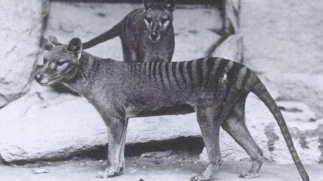 Những hình ảnh cực hiếm cuối cùng của hổ Tasmania - 1