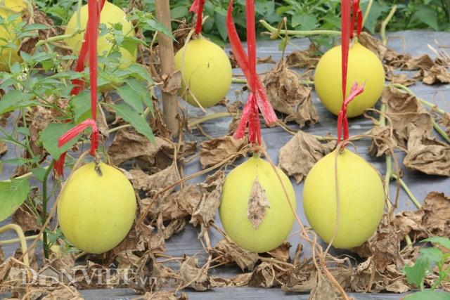 Trồng giống dưa lạ, chín trái nào thương lái khuân sạch - 5