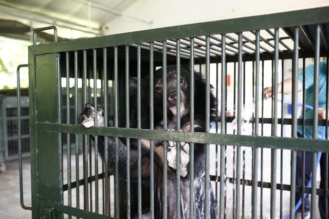 Cứu hộ thành công 2 cá thể gấu ngựa bị nuôi nhốt 20 năm - 5