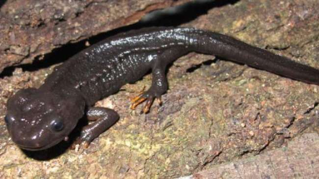 Loài sa giông cá sấu mới siêu dễ thương được phát hiện ở Việt Nam - 1