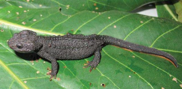 Loài sa giông cá sấu mới siêu dễ thương được phát hiện ở Việt Nam - 3