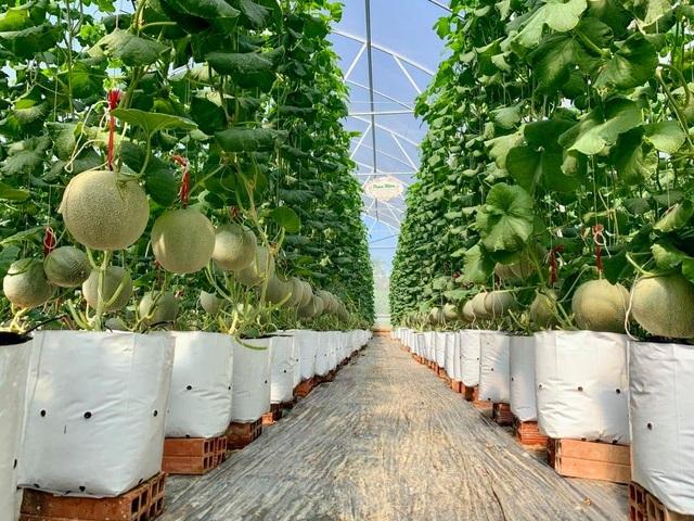 Thạc sĩ nghỉ việc ở cơ quan nhà nước về dọn vườn trồng dưa lưới sạch - 2