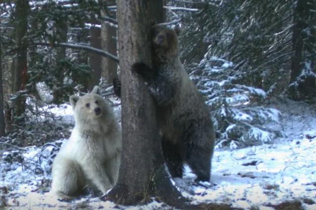 Phát hiện gấu xám trắng cực kỳ hiếm tại Canada - 1