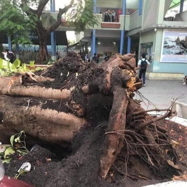 Sau vụ cây phượng bật gốc, TPHCM chỉ đạo kiểm tra cây xanh trong trường học - 1