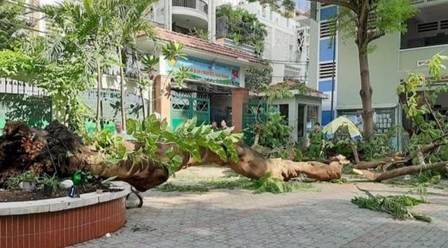 Sau vụ cây phượng bật gốc, Trường THCS Bạch Đằng cắt bỏ nhiều cây xanh - 1