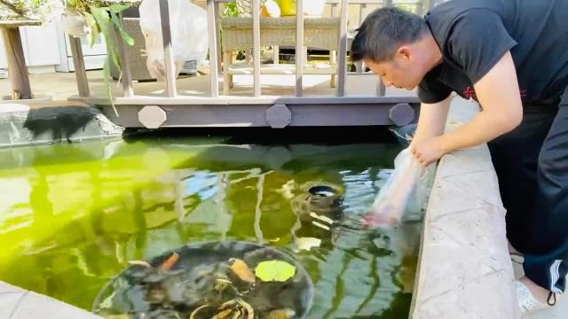 Chiêm ngưỡng hồ cá Koi của Bằng Kiều trên đất Mỹ - 6