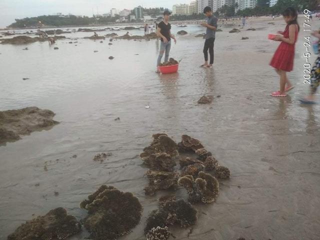 Nhiều người dân ngang nhiên đào bới san hô ven bờ biển Nha Trang - 1