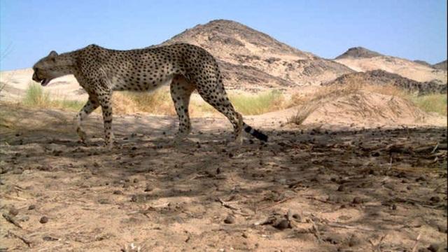 Báo săn Sahara lần đầu tiên được phát hiện trong một thập kỷ ở Algeria - 1