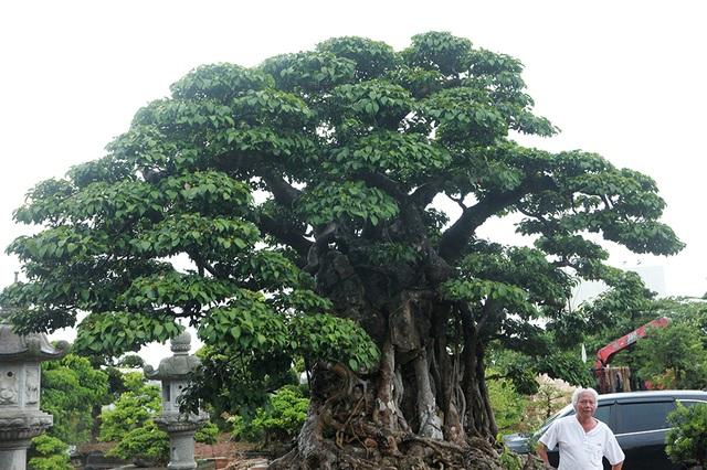 Choáng ngợp cây sanh lá móng cổ thụ giá chục tỷ ở Hà Nội - 9