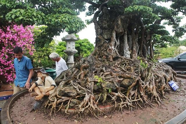 Choáng ngợp cây sanh lá móng cổ thụ giá chục tỷ ở Hà Nội - 6