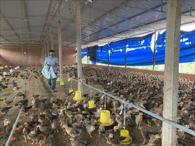 Mô hình nuôi gà trên đệm lót sinh học cho thu nhập 400 triệu đồng/năm - 2