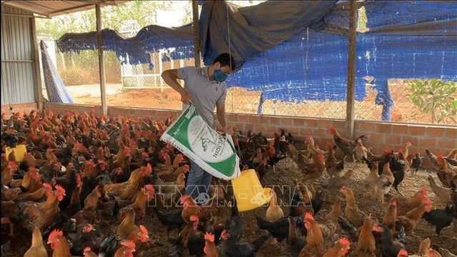 Mô hình nuôi gà trên đệm lót sinh học cho thu nhập 400 triệu đồng/năm - 3