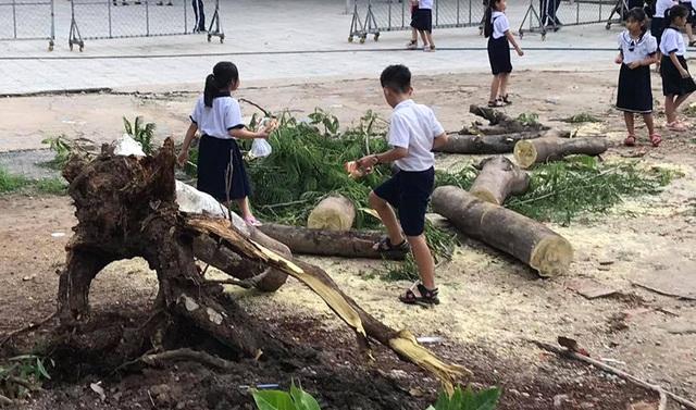Lại một cây phượng cao hơn chục mét bật gốc trong trường tiểu học - 2