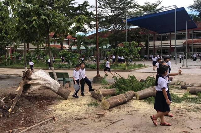 Lại một cây phượng cao hơn chục mét bật gốc trong trường tiểu học - 1