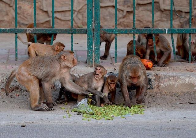 Đàn khỉ hung dữ tấn công, cướp mẫu máu xét nghiệm Covid-19 - 1