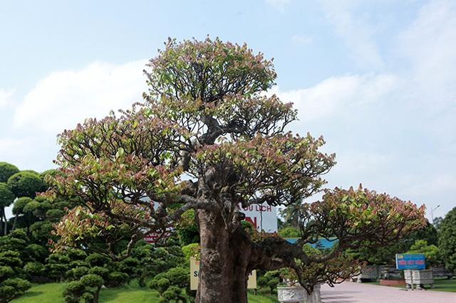Đại gia Thái Nguyên dốc tiền khủng chơi dàn bonsai khế, coi như báu vật trong nhà - 10
