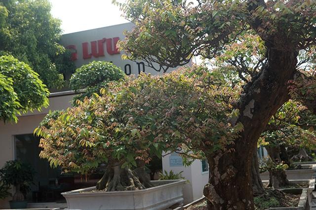 Đại gia Thái Nguyên dốc tiền khủng chơi dàn bonsai khế, coi như báu vật trong nhà - 11