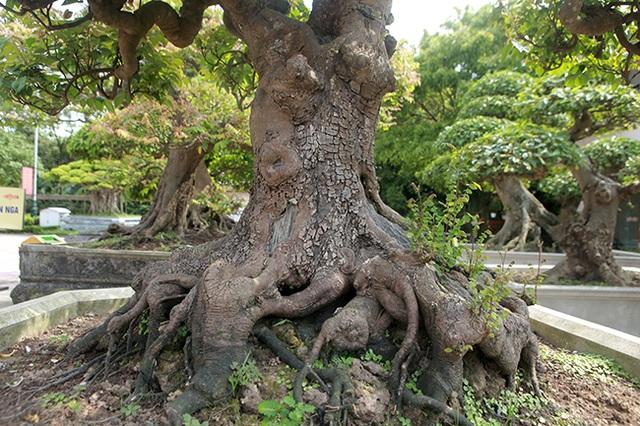 Đại gia Thái Nguyên dốc tiền khủng chơi dàn bonsai khế, coi như báu vật trong nhà - 12
