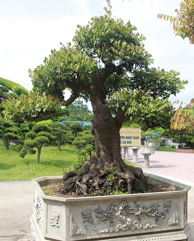 Đại gia Thái Nguyên dốc tiền khủng chơi dàn bonsai khế, coi như báu vật trong nhà - 14