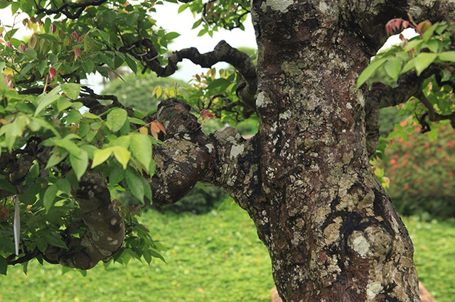 Đại gia Thái Nguyên dốc tiền khủng chơi dàn bonsai khế, coi như báu vật trong nhà - 4