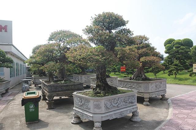 Đại gia Thái Nguyên dốc tiền khủng chơi dàn bonsai khế, coi như báu vật trong nhà - 6
