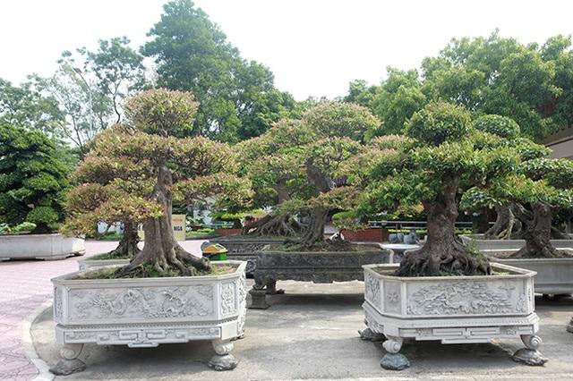 Đại gia Thái Nguyên dốc tiền khủng chơi dàn bonsai khế, coi như báu vật trong nhà - 7