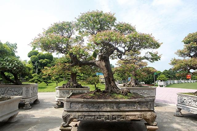 Đại gia Thái Nguyên dốc tiền khủng chơi dàn bonsai khế, coi như báu vật trong nhà - 8