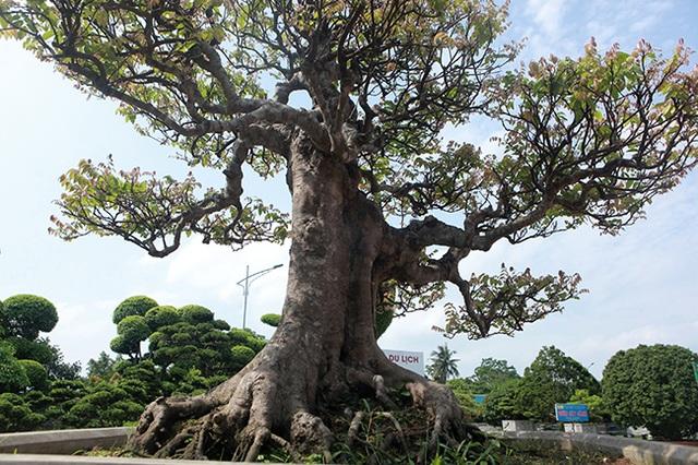 Đại gia Thái Nguyên dốc tiền khủng chơi dàn bonsai khế, coi như báu vật trong nhà - 9
