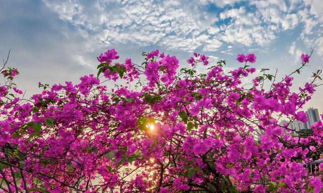 """Phát sốt"""" với con đường hoa giấy đẹp quên lối về ngay gần Hà Nội - 11"""