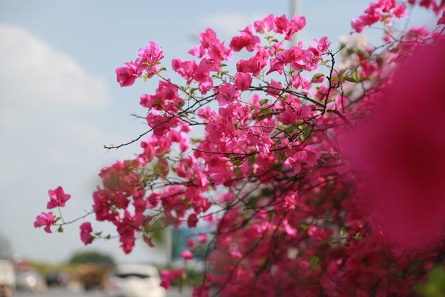 """Phát sốt"""" với con đường hoa giấy đẹp quên lối về ngay gần Hà Nội - 12"""
