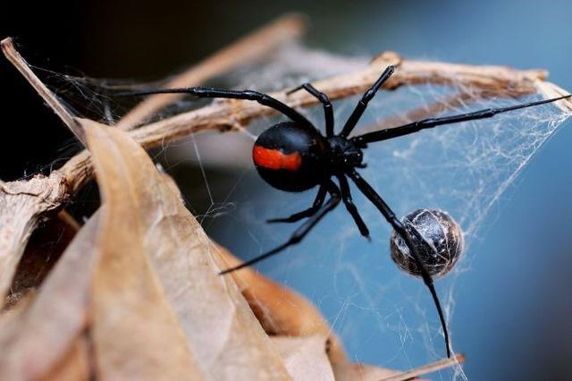 """Suýt tử vong vì muốn có """"siêu năng lực"""" từ… nhện góa phụ đen - 1"""