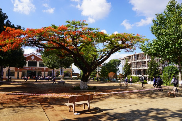 Sợ nguy hiểm cho học sinh, nhà trường căng dây chắn 2 cây phượng lâu năm - 2
