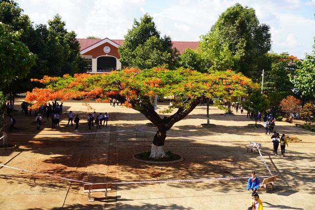 Sợ nguy hiểm cho học sinh, nhà trường căng dây chắn 2 cây phượng lâu năm - 1