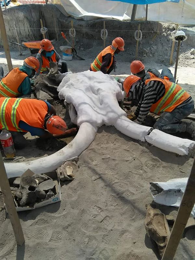 Phát hiện thêm nhiều bộ xương voi ma mút bên dưới sân bay Mexico - 2