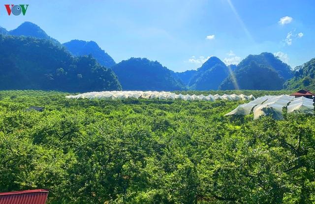 Mận Mộc Châu vào mùa thu hoạch, nông dân kiếm tiền triệu mỗi ngày - 1