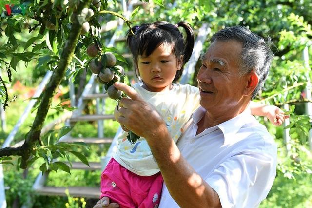 Mận Mộc Châu vào mùa thu hoạch, nông dân kiếm tiền triệu mỗi ngày - 10