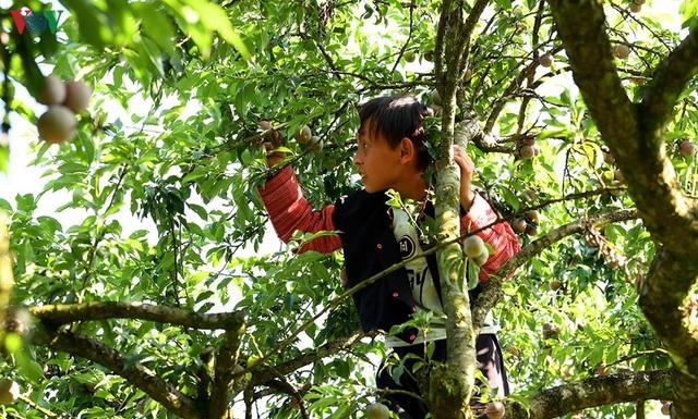 Mận Mộc Châu vào mùa thu hoạch, nông dân kiếm tiền triệu mỗi ngày - 12