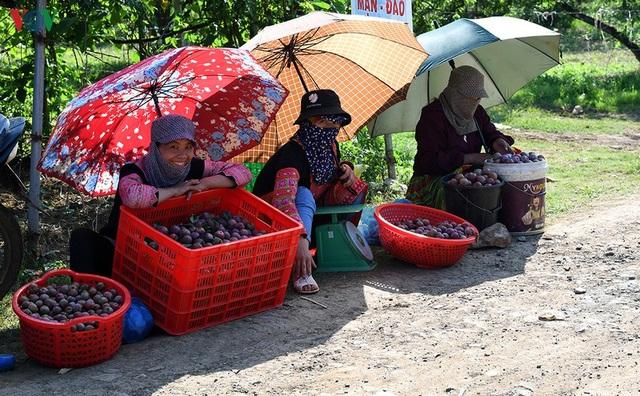 Mận Mộc Châu vào mùa thu hoạch, nông dân kiếm tiền triệu mỗi ngày - 14
