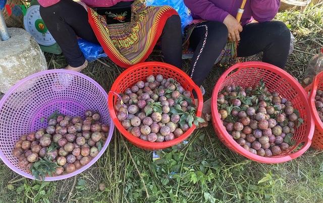 Mận Mộc Châu vào mùa thu hoạch, nông dân kiếm tiền triệu mỗi ngày - 15