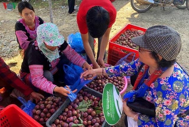 Mận Mộc Châu vào mùa thu hoạch, nông dân kiếm tiền triệu mỗi ngày - 16