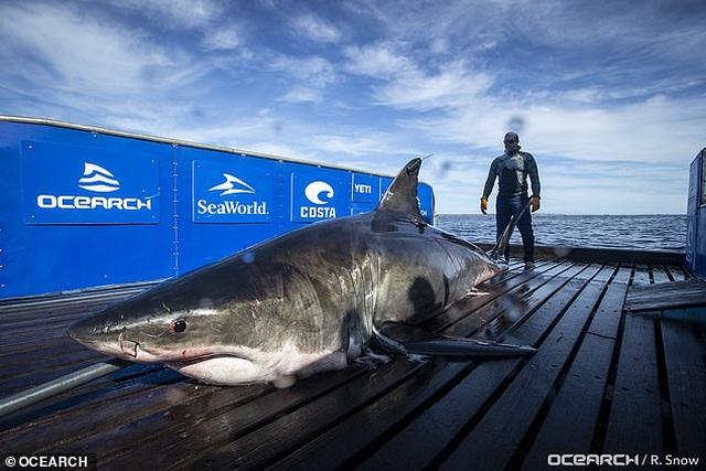 Cá mập nặng gần 1 tấn bơi hơn 1.100 km để trốn tránh việc giao phối - 1