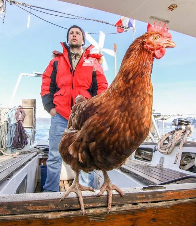 Không cần bạn gái, chàng trai dắt … gà mái chu du khắp thế giới - 2