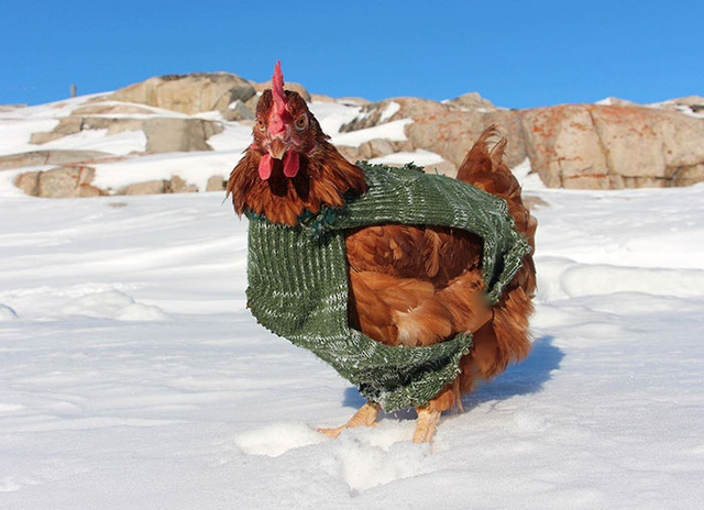Không cần bạn gái, chàng trai dắt … gà mái chu du khắp thế giới - 5