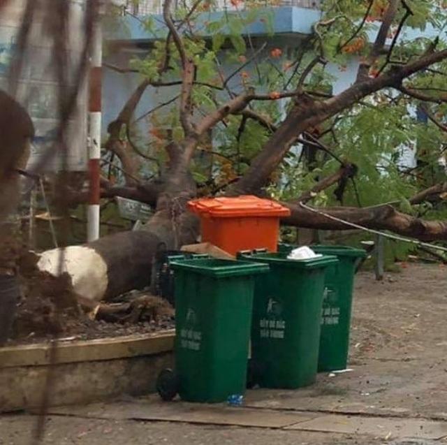 Sau cơn mưa lớn, một cây phượng bị bật gốc trong sân trường - 1