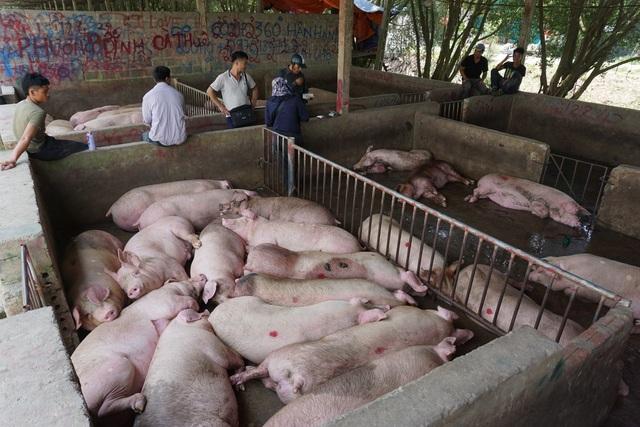 Chợ đầu mối lợn hơi ế ẩm, tiểu thương ngồi đuổi ruồi vì giá quá cao - 2