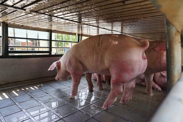 Lợn sống Thái Lan nhập về Việt Nam có chất cấm hay không? - 2