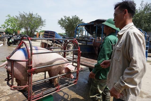 Lo ngại người chăn nuôi bán tống, bán tháo lợn thịt để vớt... giá! - 3